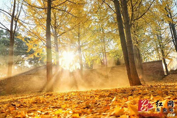 """红网时刻永州12月3日讯(东安分站记者 严洁 蒋云)初冬时节,秋的色泽还没有完全褪去,一阵风拂过,满树的金片摇曳,让人莫名地,在这个""""悲寂寥""""的季节里为之一暖。"""
