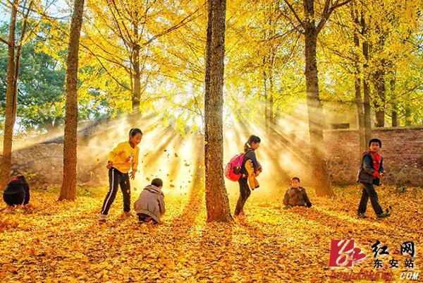 太阳把最后一段梦想,投射在树冠模糊的剪影,新圩江镇中心小学的银杏树林,看遍了春夏的故事,落下满地金黄,写出一段冬日的童话。