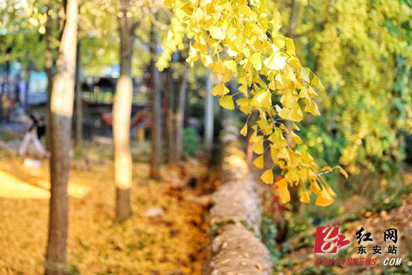 现在是银杏最好看的时节,满树的叶染上纯净而透彻的黄,片片银杏落下时,或热烈或诗意,都足以叫人惊艳。