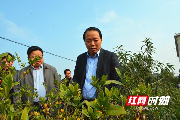 段贵建在冷水滩零东圩村黄栀子种植基地指导工作。.jpg