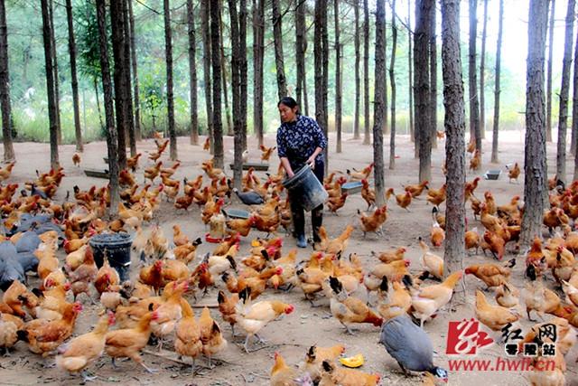 零陵:林下养土鸡 帮扶奔富路