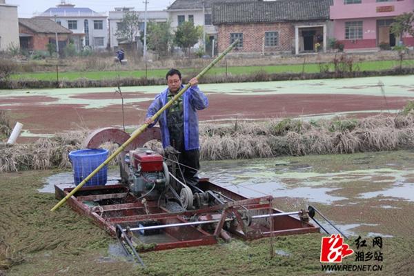 看!湘乡市东郊乡横洲村600亩芡实喜获丰收