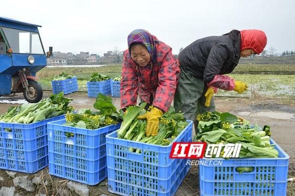 江华:蔬菜种出增收路