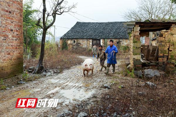 周新平一家三兄弟,最小的弟弟因病丧失劳动力,是建档立卡贫困户。家里今年养了3头黄牛、一头土猪,猪舍建在离家500米的山坡边,把年猪赶回家里宰杀,两兄弟颇费了一番拆磨,扶贫路上,犹如这回家路上,一路泥泞,一路走好。