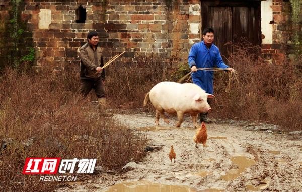 周新平两兄弟赶年猪回家,一路泥泞,颇费了一番周折。