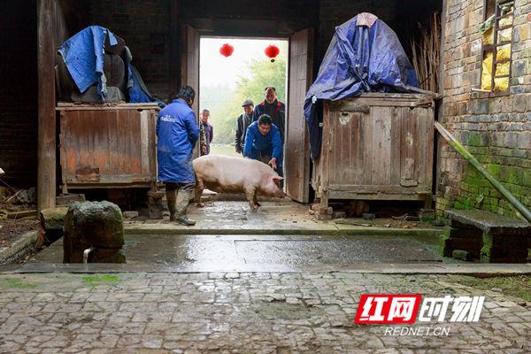 大家推推搡搡把年猪赶进老屋。
