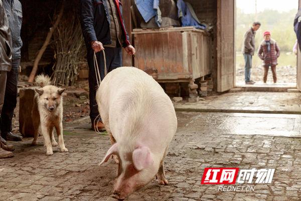 """这是一头""""从年头养到年尾""""的土猪,这种靠喂食猪草、粮食家养的土猪体型肥硕,猪毛发亮,说明这是一头非常健康的猪。"""