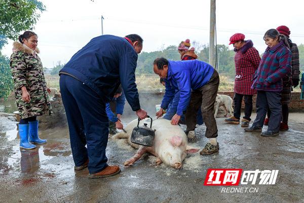 开水烫猪毛,一刀接一刀,从头刨到尾,干净利索,做到一毛不留。