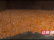 湘西龙山1万吨椪柑滞销 恳请社会各界帮助