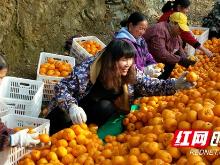 泸溪:媒体报道得到积极响应 椪柑销售增长迅速