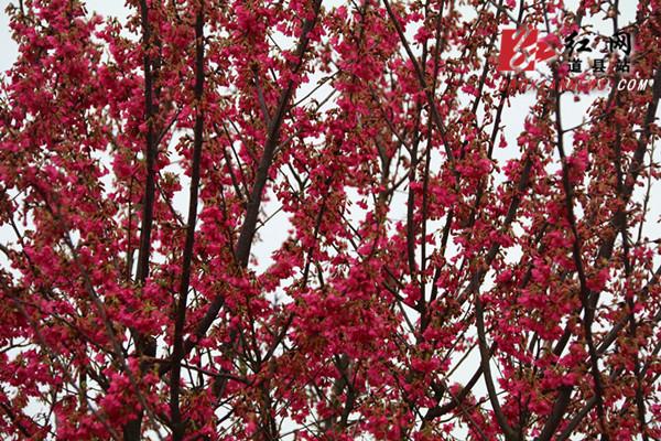 1月31日,位于道县蚣坝镇兴桥村樱花庄园内的樱花盛开,樱花在光线的映衬下,如点点繁星,花影满树,美不胜收。