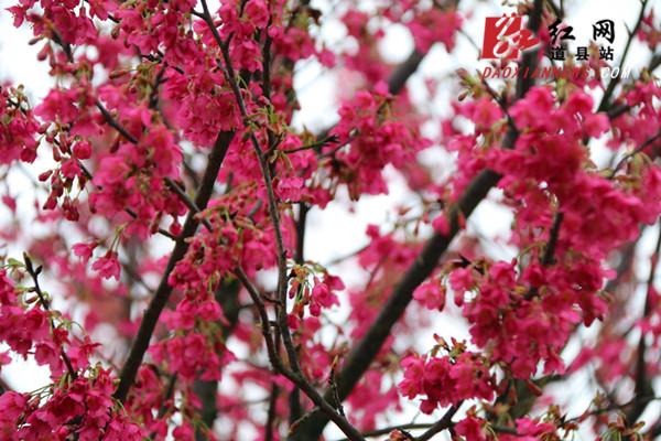 櫻花盛開 美不勝收(組圖)