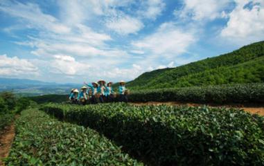 蓝山:倒春寒致春茶推迟采摘 产量减产约三成