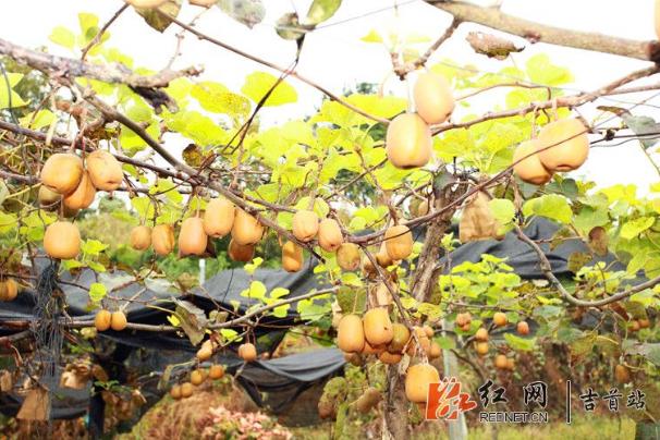 """""""湘西猕猴桃""""入选湖南省重点扶持农业品牌"""
