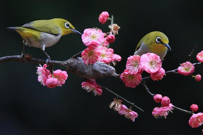 Birds gather around plum blossom in central China