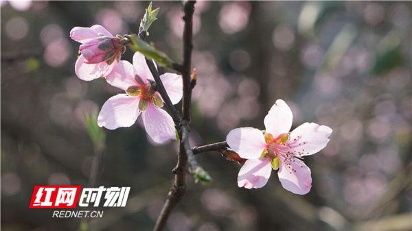 红网时刻永州3月11日讯(通讯员 梁利)3月11日,湖南省永州市蓝山县迎来了灿烂的阳光,千树万树的桃花像憋足了劲儿似的,争相怒放。勤劳的蜜蜂也憋足了劲儿地辛勤采集桃花蜜儿。