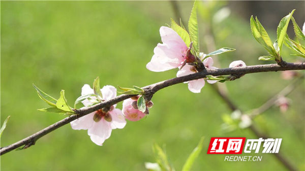阳光灿烂,桃花争相怒放。