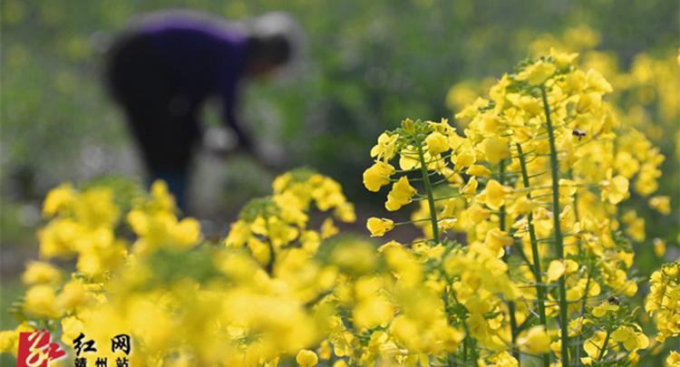 靖州:春暖劳作花相伴