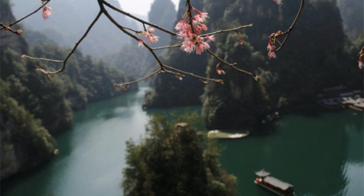 张家界武陵源:樱开三月踏春来