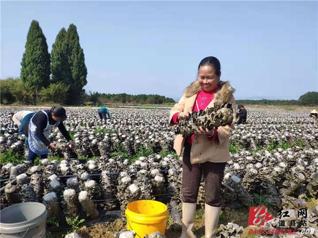 """道县:""""黑木耳""""种植扶贫产业喜获丰收"""