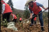 凤凰县麻冲乡:种下油茶树 铺就脱贫路