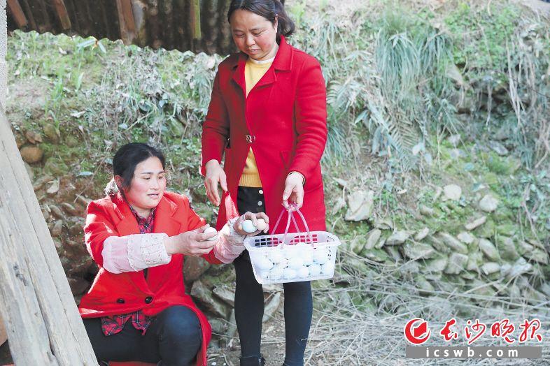 昨日,周康红(右)又一次来到黄忠华家免费提供技术支持,两人在一起高兴地捡拾鸡蛋。 长沙晚报全媒体记者 颜开云 李广军 摄影报道