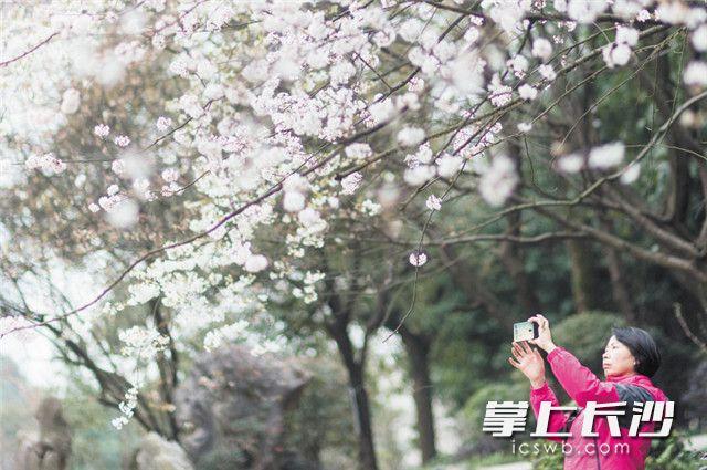 昨日,长沙河西望月公园,600多株山樱花争相绽放,引得市民游客驻足。望月公园内成规模种植的山樱花属于中国本土野生樱花品种,也是湖南唯一本土培植出的樱花。长沙晚报全媒体记者 黄启晴 摄