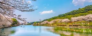 春光明媚樱花湖