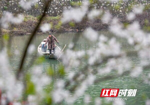 3月23日,道县西洲公园内,市民推着小孩在绽放如雪的樱花树边经过。近日,该公园内白色樱花灿烂绽放,花海如云似雪,吸引众多市民前去踏青游玩,享受春天美好时光。(蒋克青 何航仕 唐伯靖)