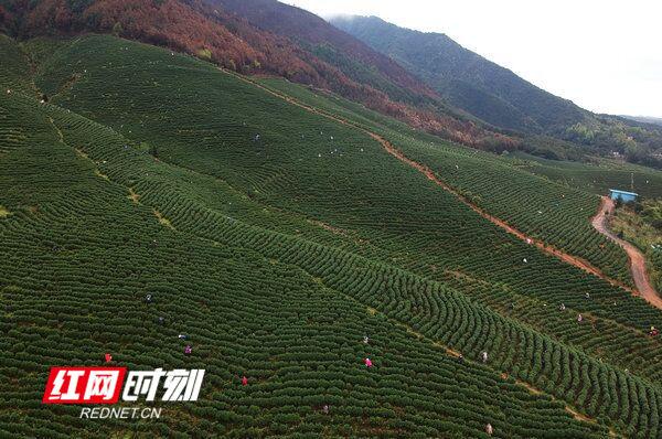 江华:漫山尽是采茶人