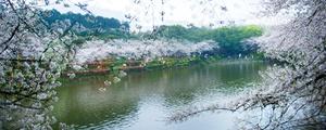 朵朵如丝樱花雨