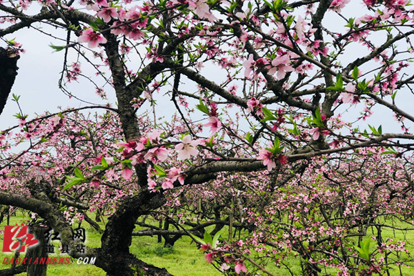 3月26日,道县大坪铺农场一处几十亩的桃花园里造型独特的桃花绚丽绽放,吸引不少游人前来赏花。