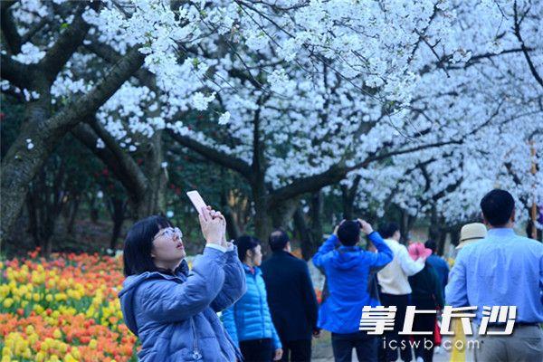近几日,湖南省森林植物园内满树的吉野樱花及成片郁金香盛开,将该园推入一年中最佳的赏花季节。长沙晚报全媒体记者 周柏平 通讯员 彭炜 摄影报道