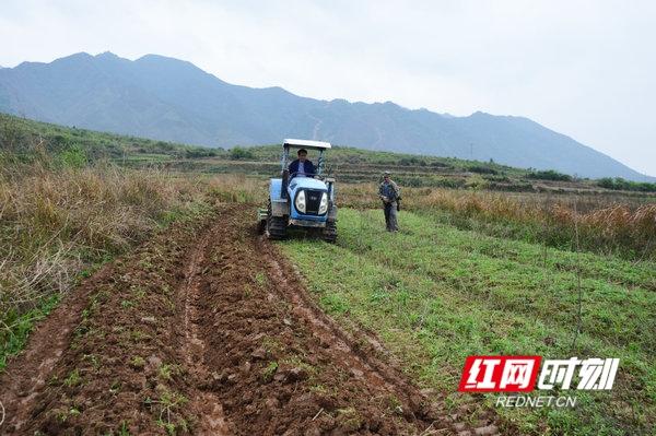 江华:菊芋基地耕种忙