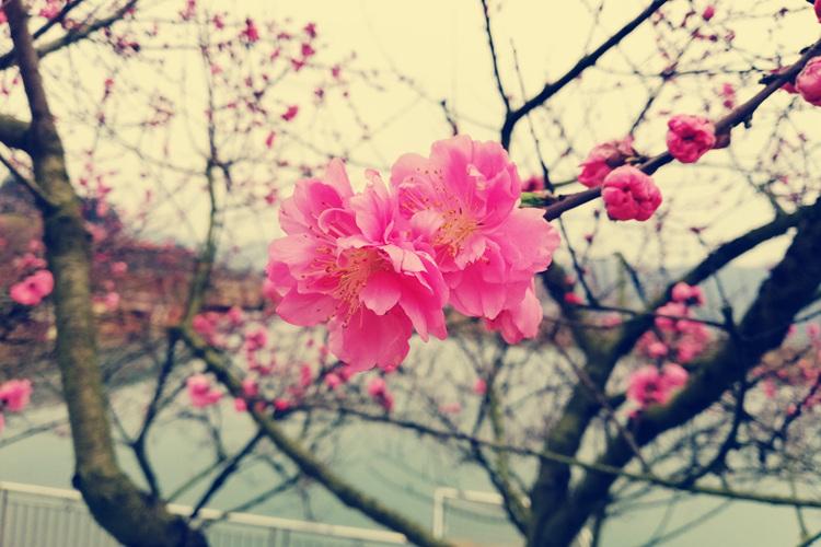 盛众游彩票注册(翻江)第三届桃花节将于31日开幕
