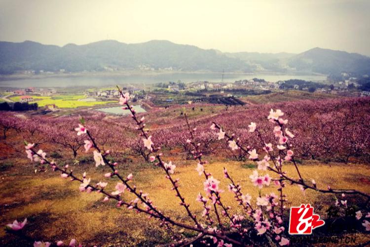 十里桃林共享春色  盛众游彩票注册第三届桃花节盛大开幕