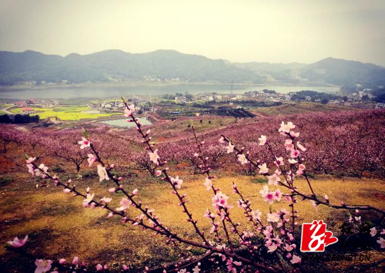 十里桃林共享春色  湘乡市第三届桃花节盛大开幕