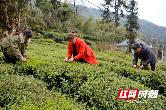 石门县17万亩春茶价高旺销
