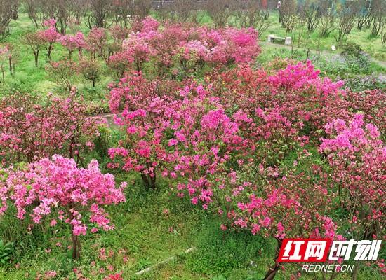 最美四月紅! 長沙園林生態園百畝杜鵑盛放