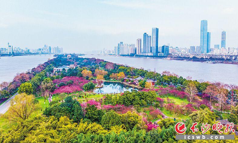 2019年3月17日,橘子洲景区唐生智公馆景点旁边的梅园中,梅花盛放,芬芳扑面,吸引了众多市民和游客。