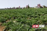 """乡村振兴看常德丨西洞庭:秋延辣椒成村里的""""金疙瘩"""""""