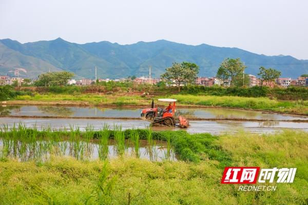 红色晚霞映照下,村民们辛勤劳作的身影活跃在充满希望的绿色田野?#24076;?#26500;成了一幅幅美妙的黄昏田间劳作图。