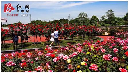 湘潭盘龙大观园玫瑰园甜蜜开园  爱花的人看过来