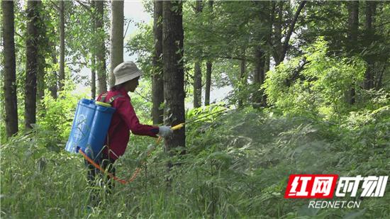 600亩受灾 琵琶村及时开展蝗虫防治工作