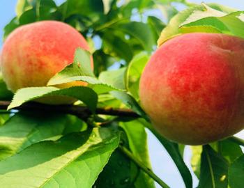 道县:蜜桃丰产上市时