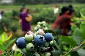 靖州:蓝莓迎来收获季