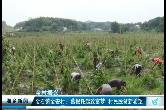 """湘乡农民种植""""南方人参"""" 走出脱贫致富新道路"""