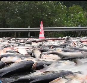 货车爆胎翻车,3000多公斤鲢鱼铺满高速路面