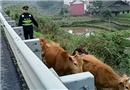 """小牛犊""""调皮""""欲上高速 忙坏了路政蜀黍"""
