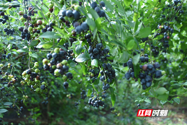 """蓝莓也不甘落后,串串""""可爱""""的蓝莓如一个个""""蓝精灵"""",在微风中摇曳,在微风中召唤,忍不住摘下一颗细细品尝……"""